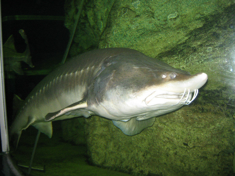 Grandes peces de agua dulce i la exuberancia de hades for Peces agua dulce