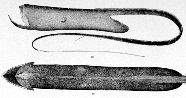 Saccopharynx2