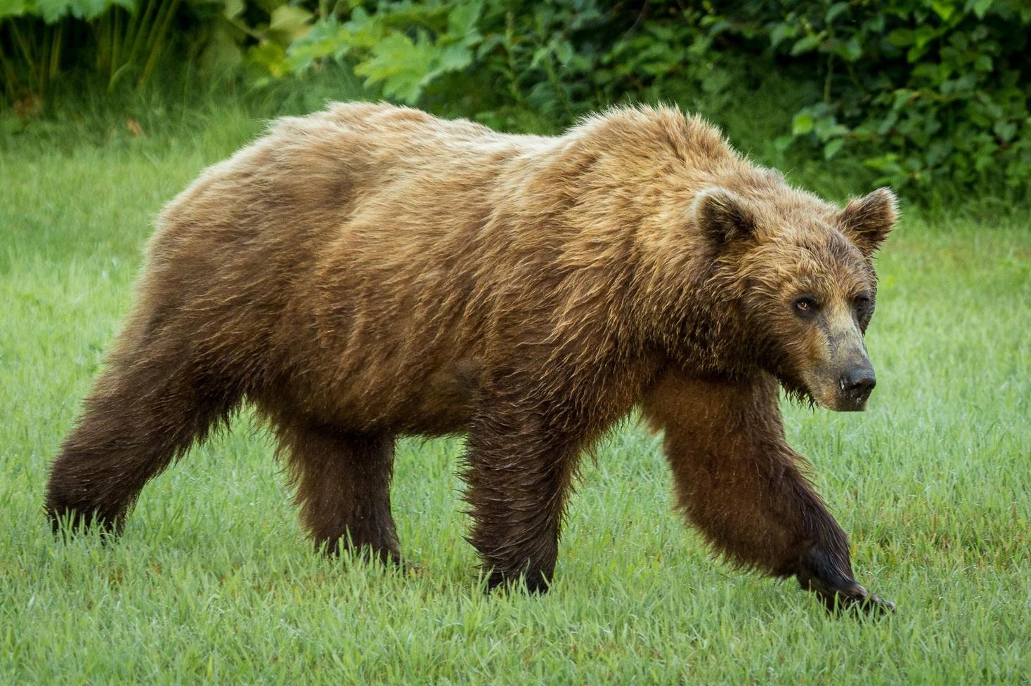 que bear