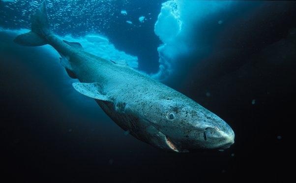 tiburon-boreal