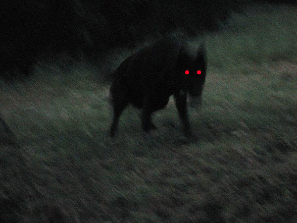 perro-negro