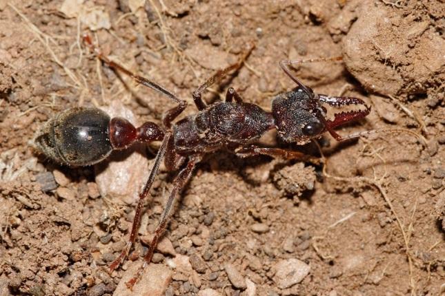 hormiga-bulldog