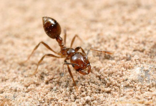 hormiga-de-fuego